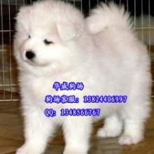 供应 纯白微笑天使萨摩好不好养正规狗场出售纯种萨摩耶幼犬图片