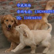 广州哪里有卖金毛犬图片