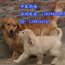 供应 广州哪里有卖金毛犬广州金毛寻回犬 广州纯种金毛犬养殖场图片