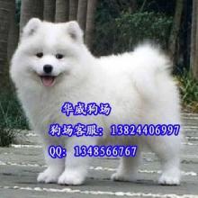 供应广州哪里有卖狗微笑天使萨摩耶哪里有卖纯白色可爱萨摩耶雪橇犬图片