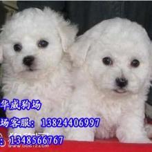 供应广州哪里有卖小型犬广州比熊犬价格纯种小型比熊犬图片哪里有卖呢图片