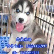 广州哈士奇雪橇犬图片