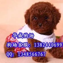 供应广州哪里有卖小型犬的狗场泰迪熊犬图片