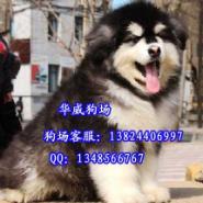 广州哪里有卖巨型阿拉斯加纯种健康图片
