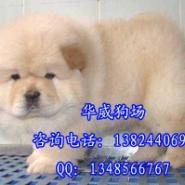 广州哪里有卖肉嘴松狮犬松狮犬价格图片