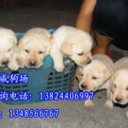 肇庆哪里有卖拉布拉多拉多导盲犬图片