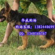 广州哪里有卖德牧犬图片