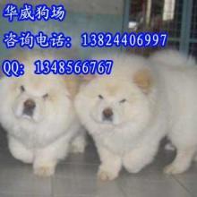 供应广州卖松狮犬的地方宠物狗松狮犬幼犬出售 又肥又壮的肉嘴白松狮图片