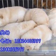 广州哪里有卖松狮狗图片