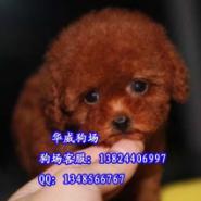 广州哪里可以买到贵宾犬图片