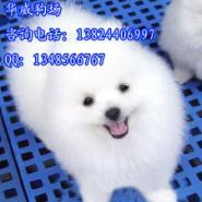 什么地方有卖纯种哈多利博美犬图片