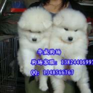 广州哪里有卖纯种萨摩耶雪橇犬图片