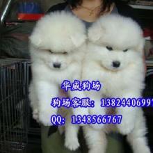 供应广州萨摩耶犬多少钱广州哪里有卖纯种萨摩耶犬微笑王子萨摩耶图片