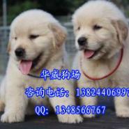 广州边度有卖金毛犬金毛犬好养吗图片