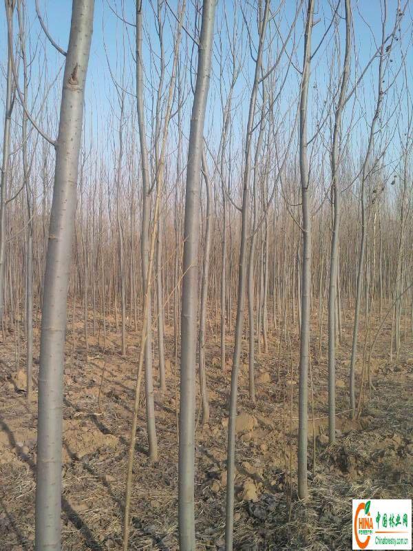 常年大量供应1-5公分杨树苗100万株