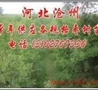 供应优质枣树苗100万株
