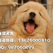广州边度有卖金毛犬哪里有卖金毛犬图片