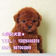 广州哪里有卖贵宾犬红色贵宾狗图片