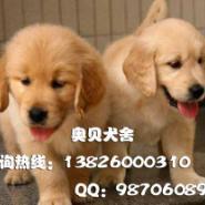 广州金毛犬哪里有卖金毛巡回犬图片
