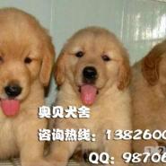 黄金毛犬广州哪里有卖纯种金毛犬幼图片