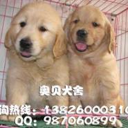 广州哪里有卖金毛犬广州边度有卖图片