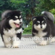 广州哪里有卖阿拉斯加犬雪橇犬图片