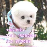 广州什么地方有卖比熊犬幼犬哪里有图片