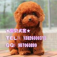 广州泰迪熊犬和玩具泰迪熊哪种好养图片
