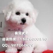 广州哪里有卖比熊犬小狗图片