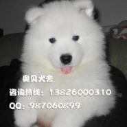 广州哪里有卖纯种萨摩犬广州萨摩耶图片
