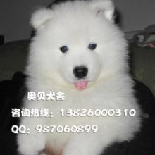 供应广州哪里有卖纯种萨摩犬广州什么地方有卖纯种萨摩耶边度有卖萨摩图片