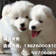 广州哪里有卖纯种萨摩犬价格多少图片