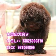 什么地方有卖贵宾犬茶杯贵宾狗广州图片
