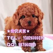 广州哪里有卖玩具型贵宾犬小型犬图片