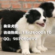 广州哪里有卖纯种边境牧羊犬边牧图片
