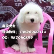 古代牧羊犬多少钱广州哪里有卖纯种图片
