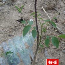 甘肃陇南康县苗圃核桃树苗