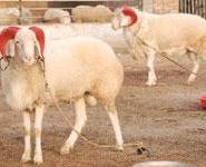 纯种波尔山羊那里肉羊品种好图片