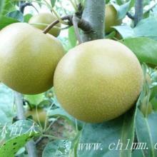 供应圆黄梨树苗图片