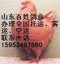 四川肉鸽养殖场#肉鸽配合饲料#辽宁肉鸽养殖#北京肉鸽养殖场 四川批发