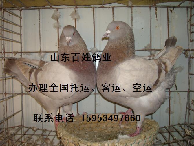 蜗牛鸽鸟类鸟动物670_503鸽子怎么yang图片
