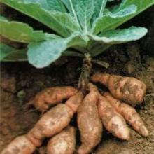 供应种子-药材种子批发-药材种子质量保证