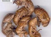 供应蝉蜕,别名:蝉退、蝉衣、虫蜕、蝉壳、蚱蟟皮、知了皮,金牛儿