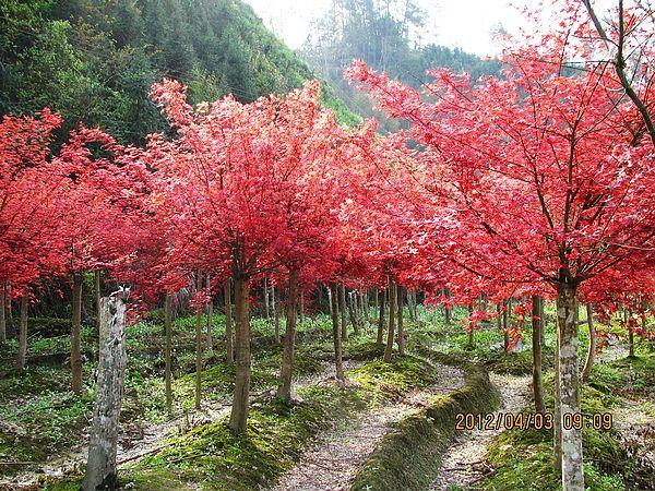 供应桂林红枫