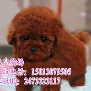 广州纯种贵宾犬价格价钱多少贵宾犬图片