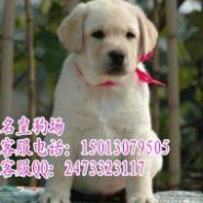 广州边度有卖拉布拉多广州拉布拉多图片