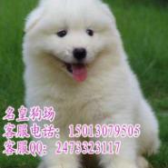 广州萨摩犬广州萨摩耶价格价钱多少图片