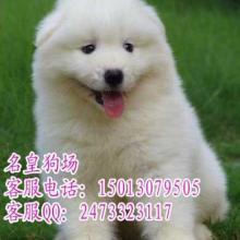 供应广州萨摩耶广州哪里有卖纯种萨摩犬图片