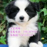 深圳哪里有卖边境牧羊犬深圳边牧图片
