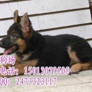 广州哪里有卖德国牧羊犬纯种警犬图片